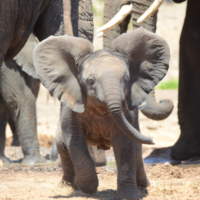 Elephant Addo 2016